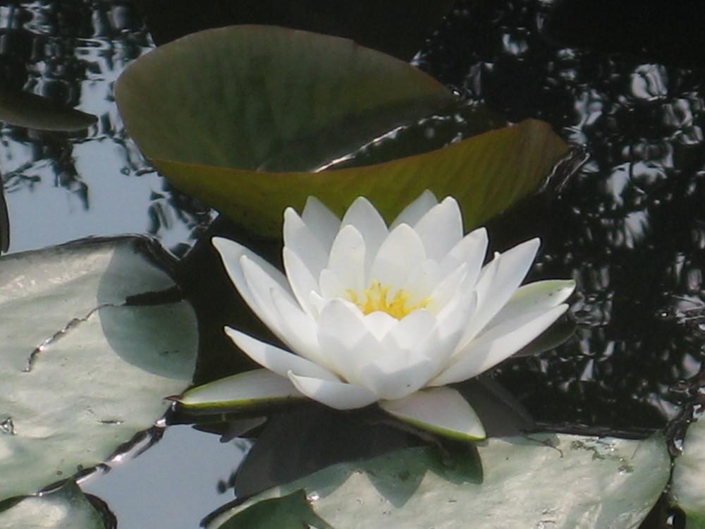 fior di loto