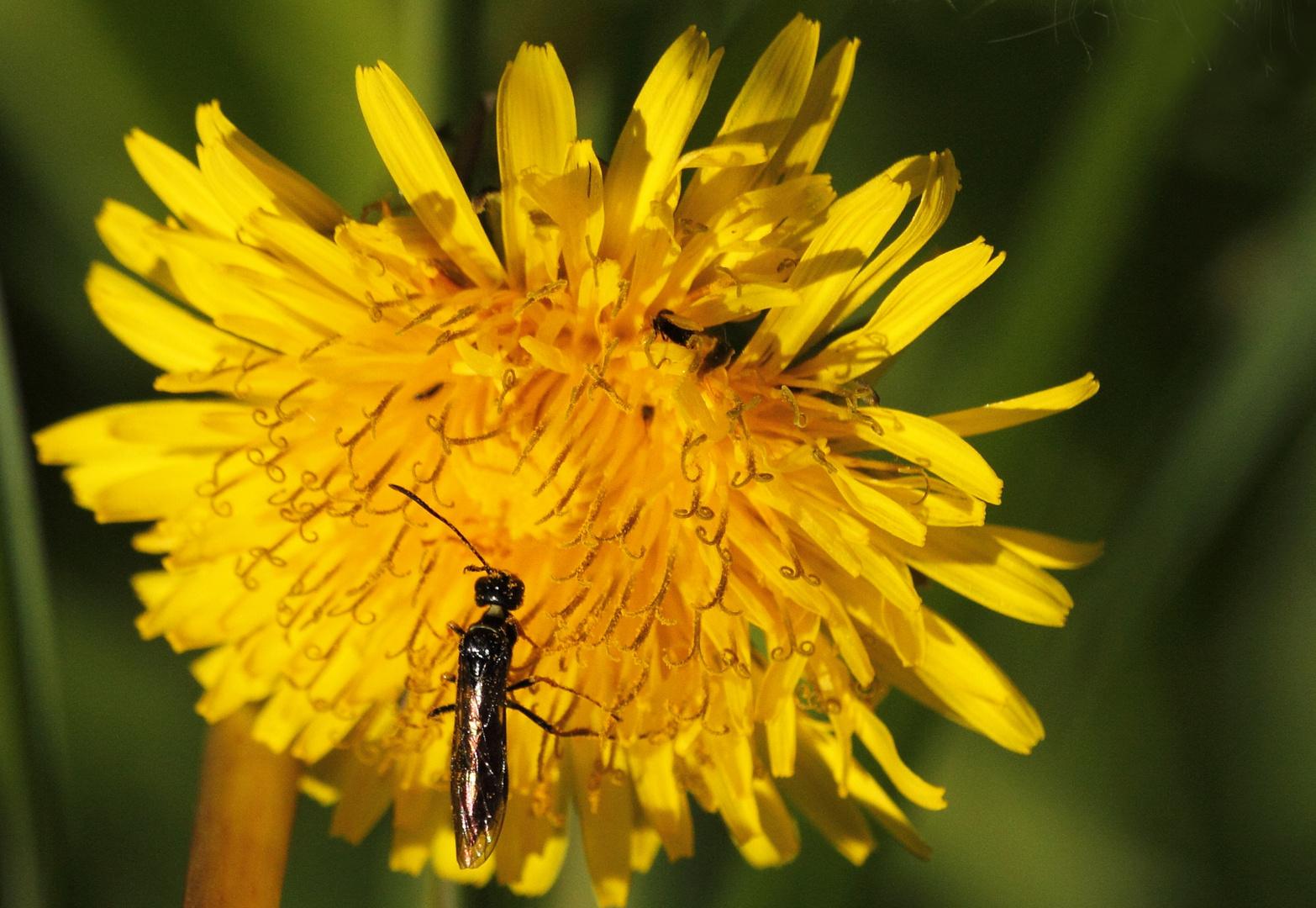 fior di tarassaco con insetto