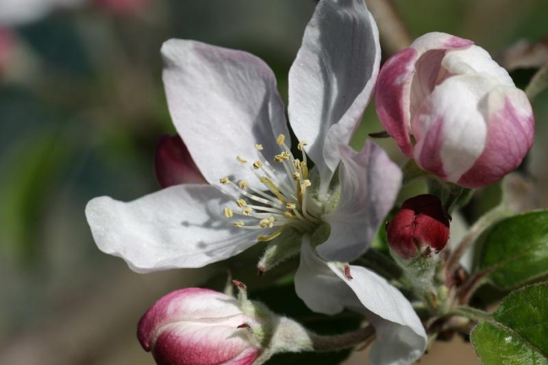 Fiore del melo