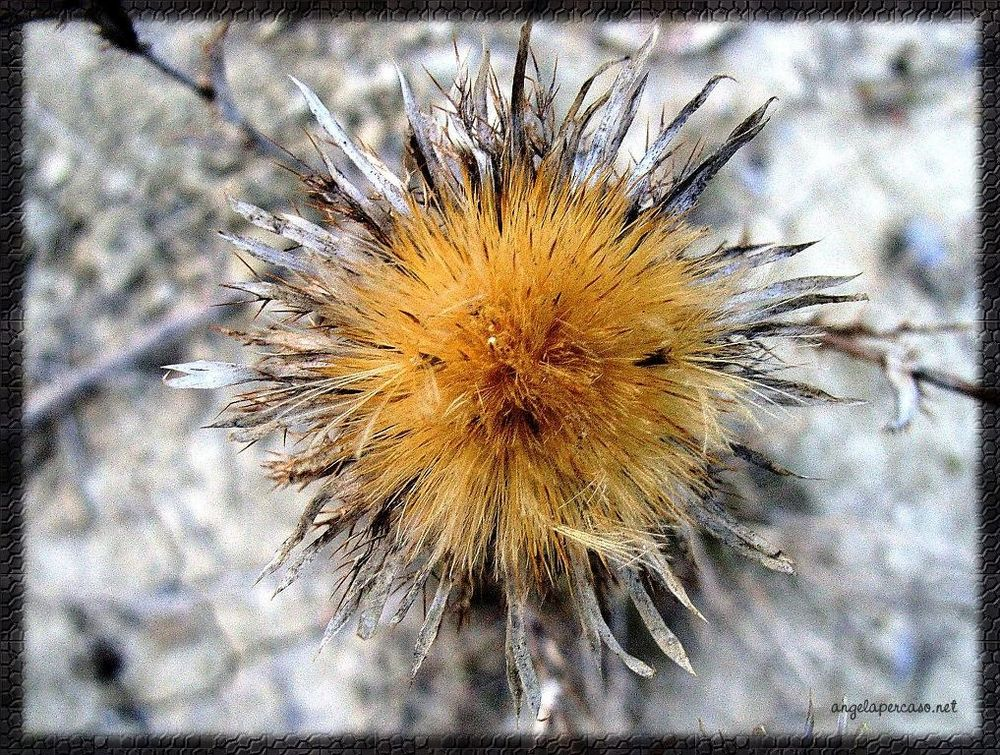 fiore di cardo selvatico