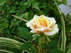 Fiore di Maggio