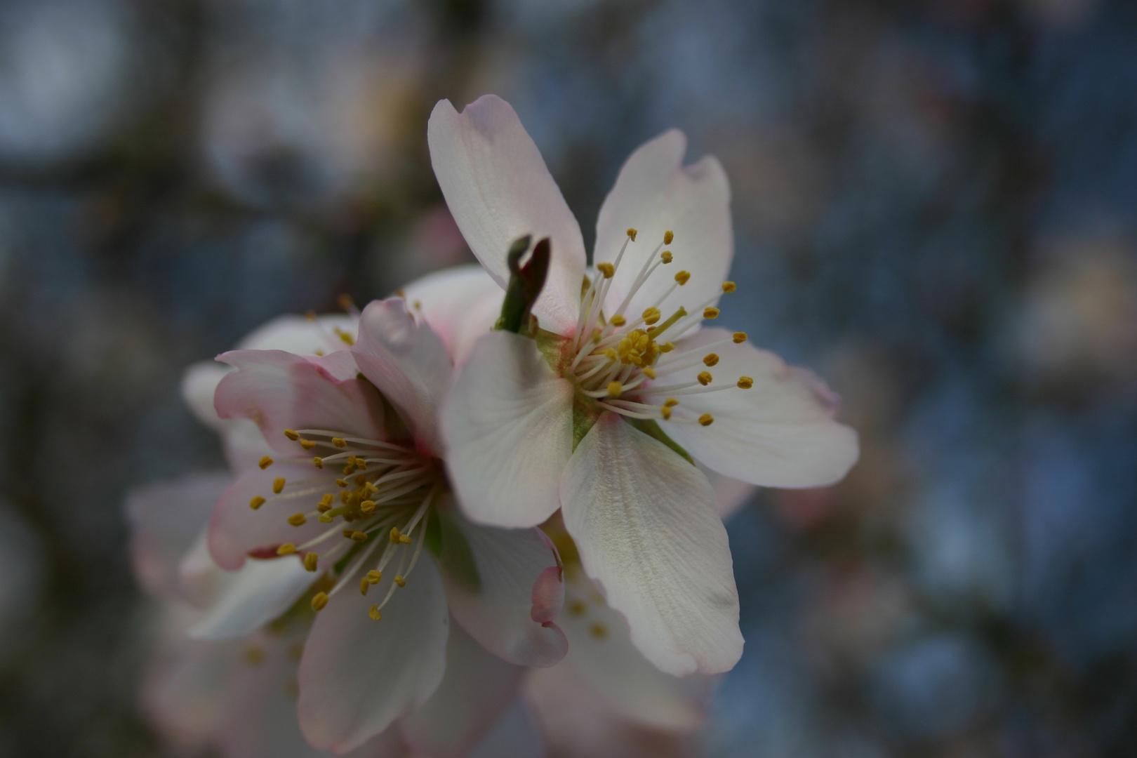 Fiore di mandorlo