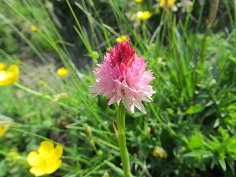 Fiore di montagna 4