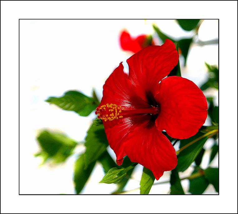 Fiore di Sicilia