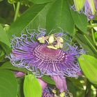 Fiore Stupendo