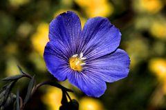 fiorellino 1