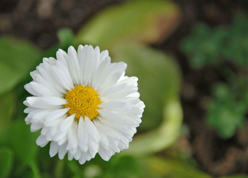 Fiorellino bianco