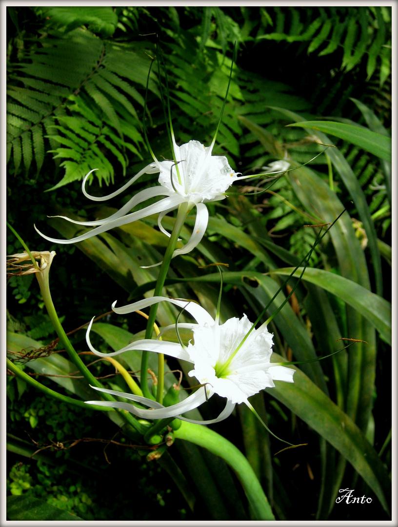 Fiori a Farfalle...Fleurs à Papillons
