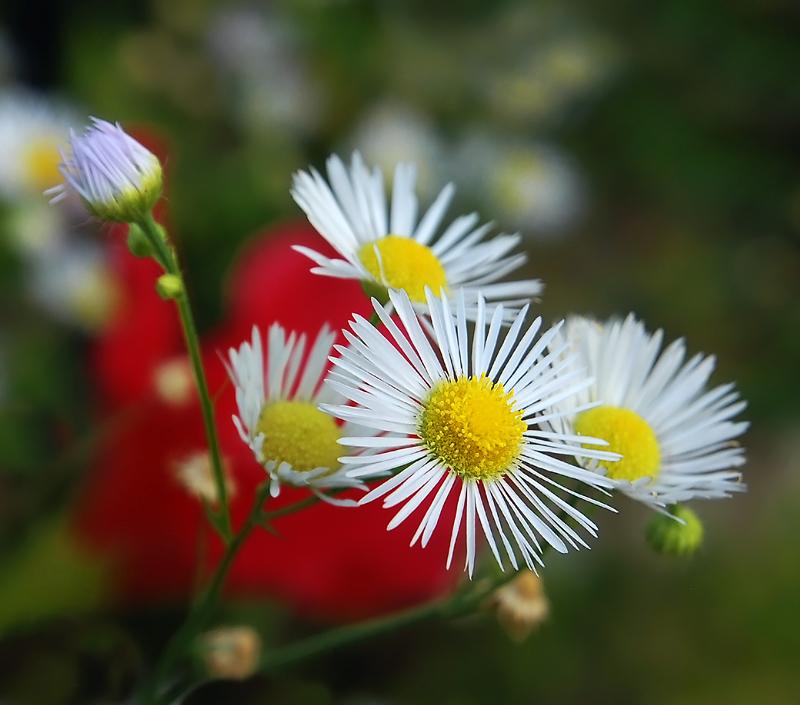 Fiori di campo in terrazza foto immagini piante - Immagini di fiori tedeschi ...