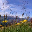 Fiori di campo nei Grigioni