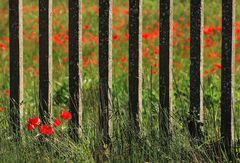 fiori di ferrovia (2)