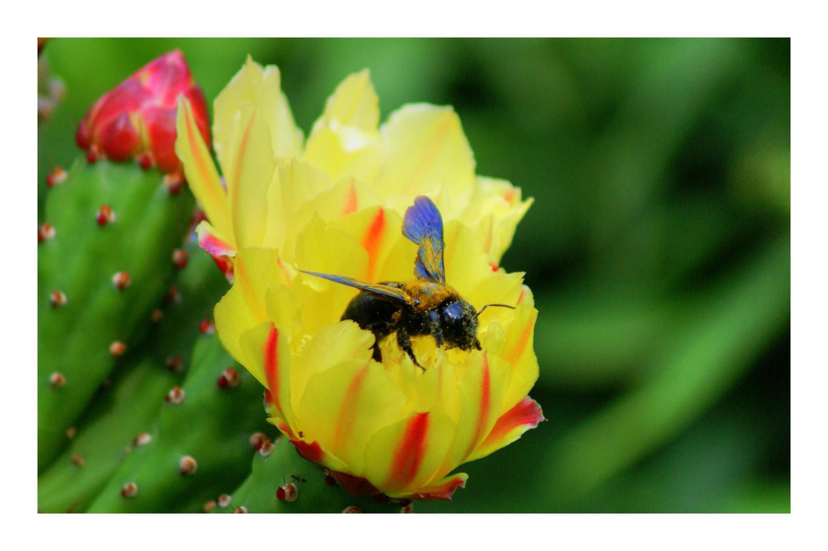 fiori di ficodindio con sorpresa