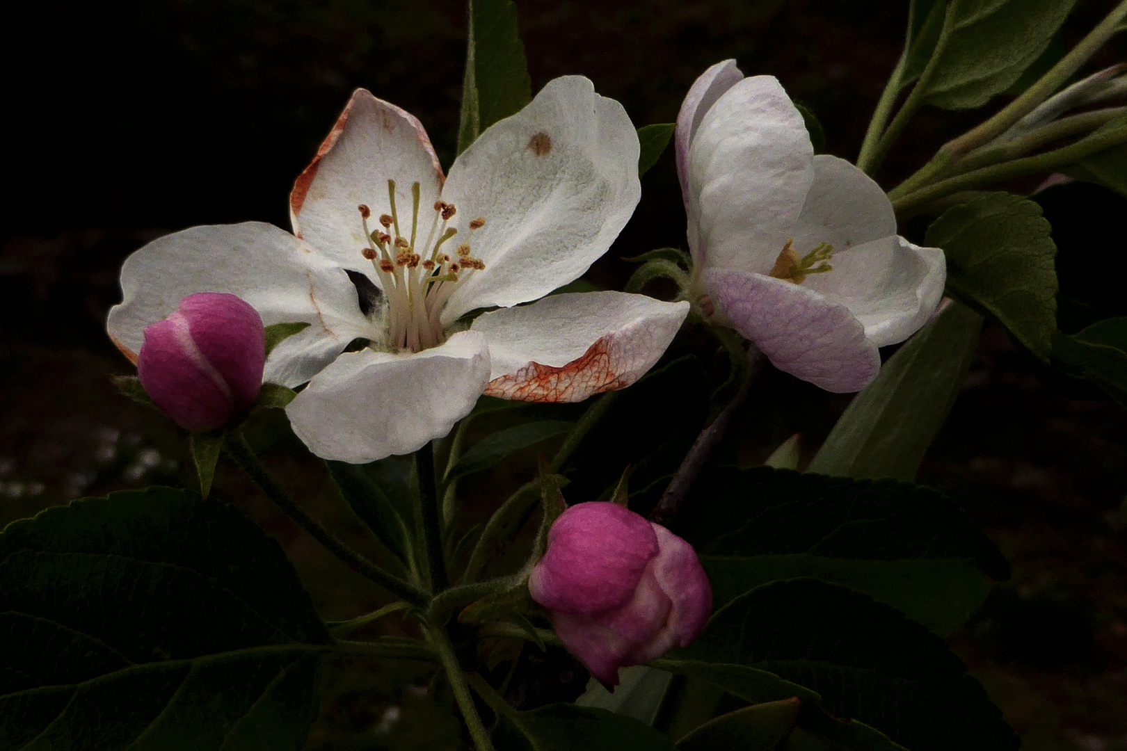 ...fiori di melo...
