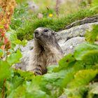Fiori e marmotte