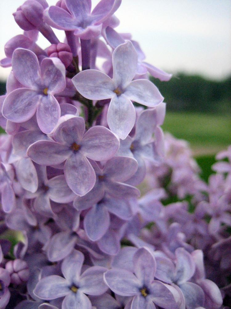 Fiori lilla....