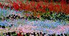 fiori multicolor Isola di Manau Lago di Costanza