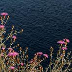 Fiori sul mare di Capri