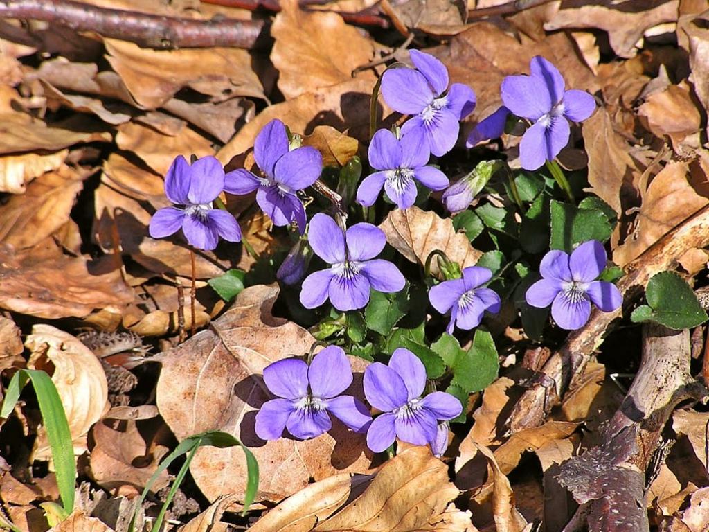 First spring violas