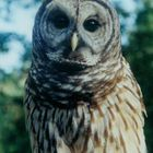 First year barred owl