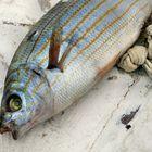 Fisch auf Fischerboot