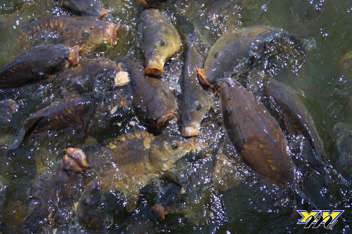 Fisch Fütterung