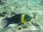 Fisch im Roten Meer
