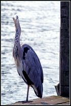Fisch oder Graureiher