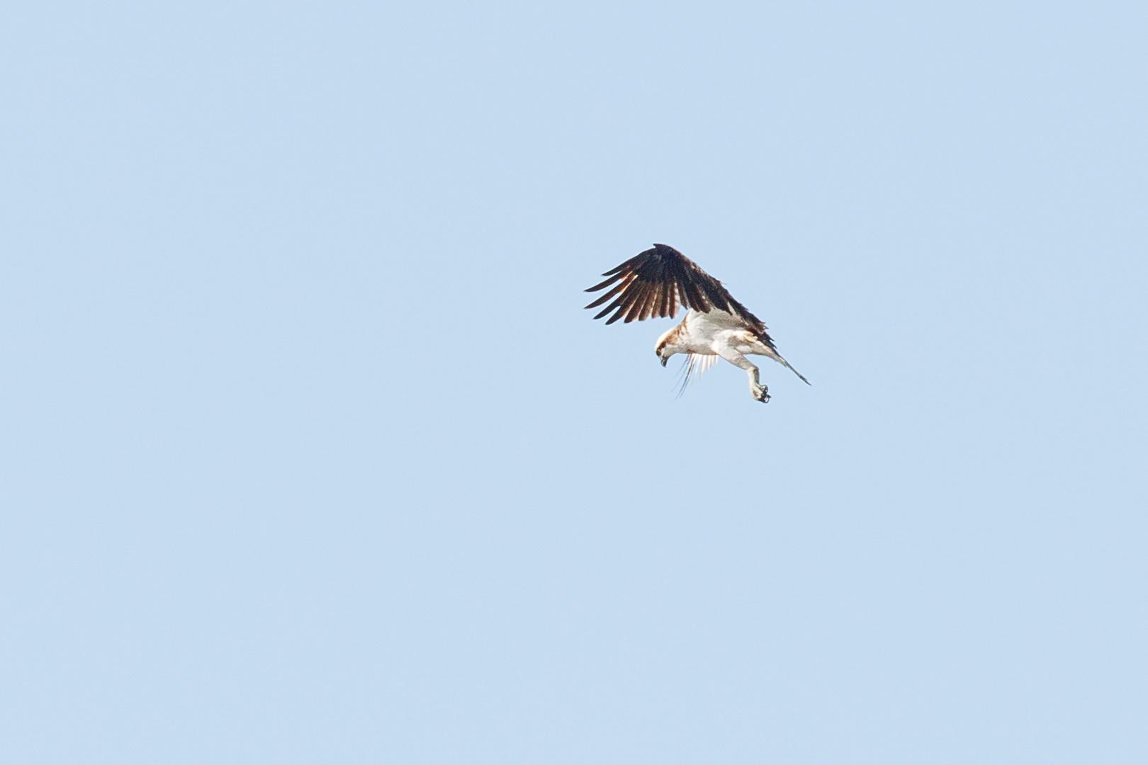 Fischadler-0398