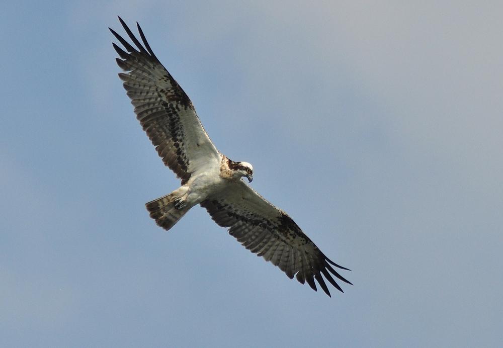 Fischadler auf der Jagd