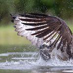 Fischadler auf Raubfang