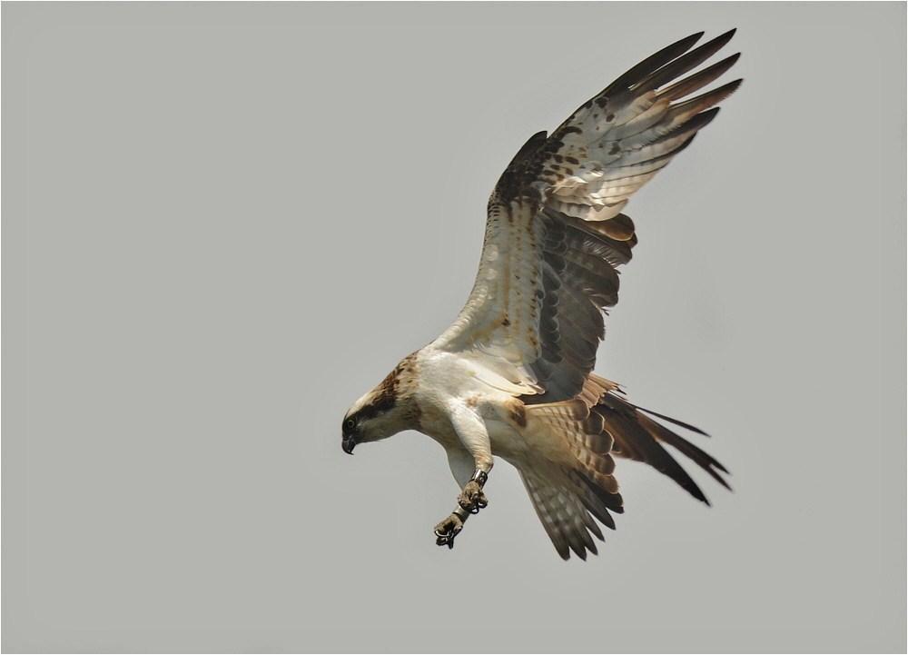 Fischadler bei der Jagd