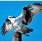 - Fischadler bei einer kräftigen Mahlzeit -