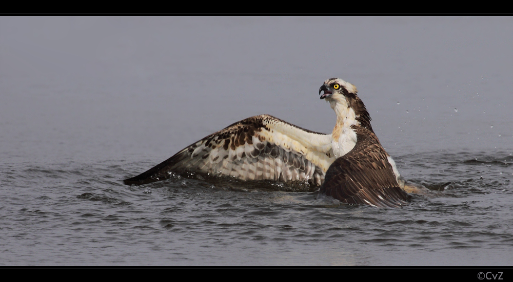 Fischadler geht baden