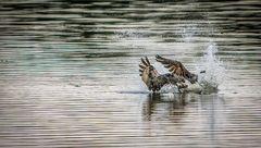 Fischadler holt sich Abendfisch