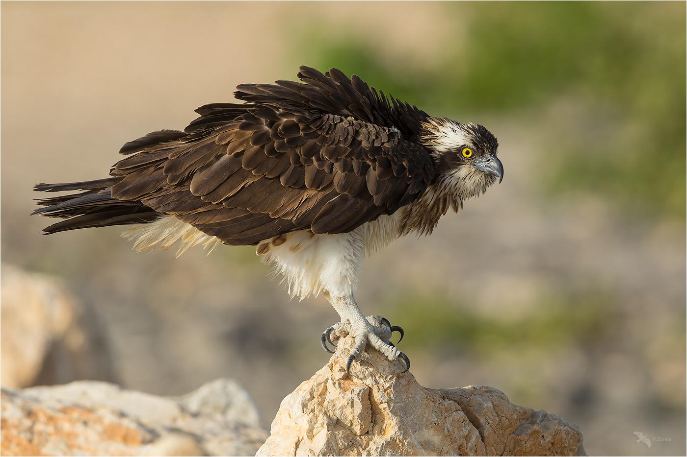 Fischadler II