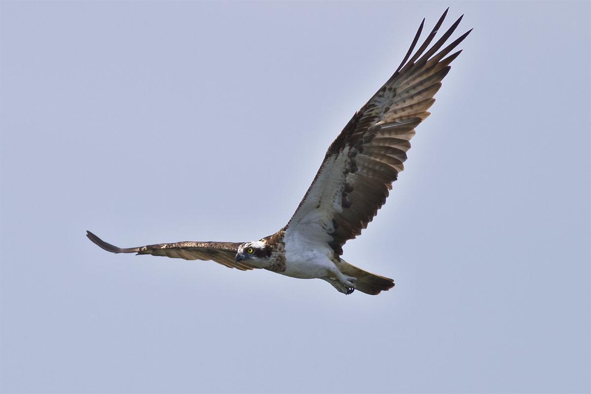 Fischadler im Flug