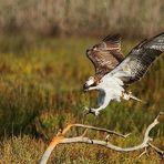 Fischadler im Landeanflug