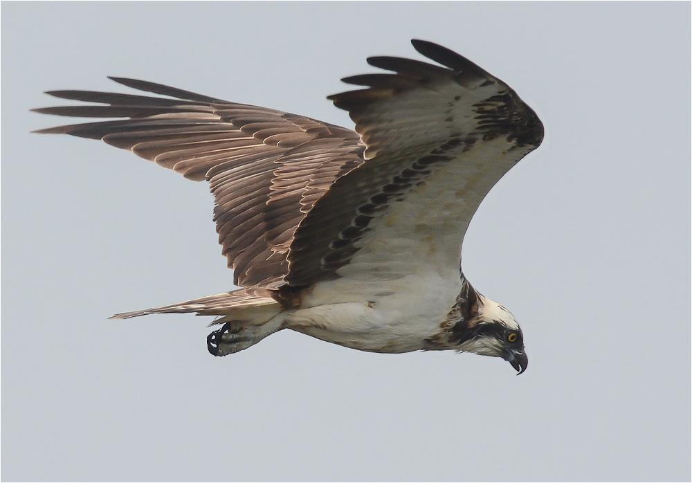 Fischadler im Suchflug