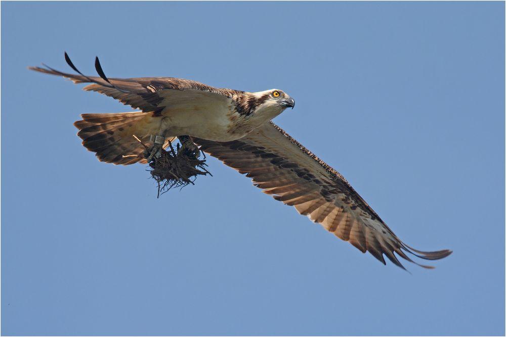 Fischadler mit Baumaterial