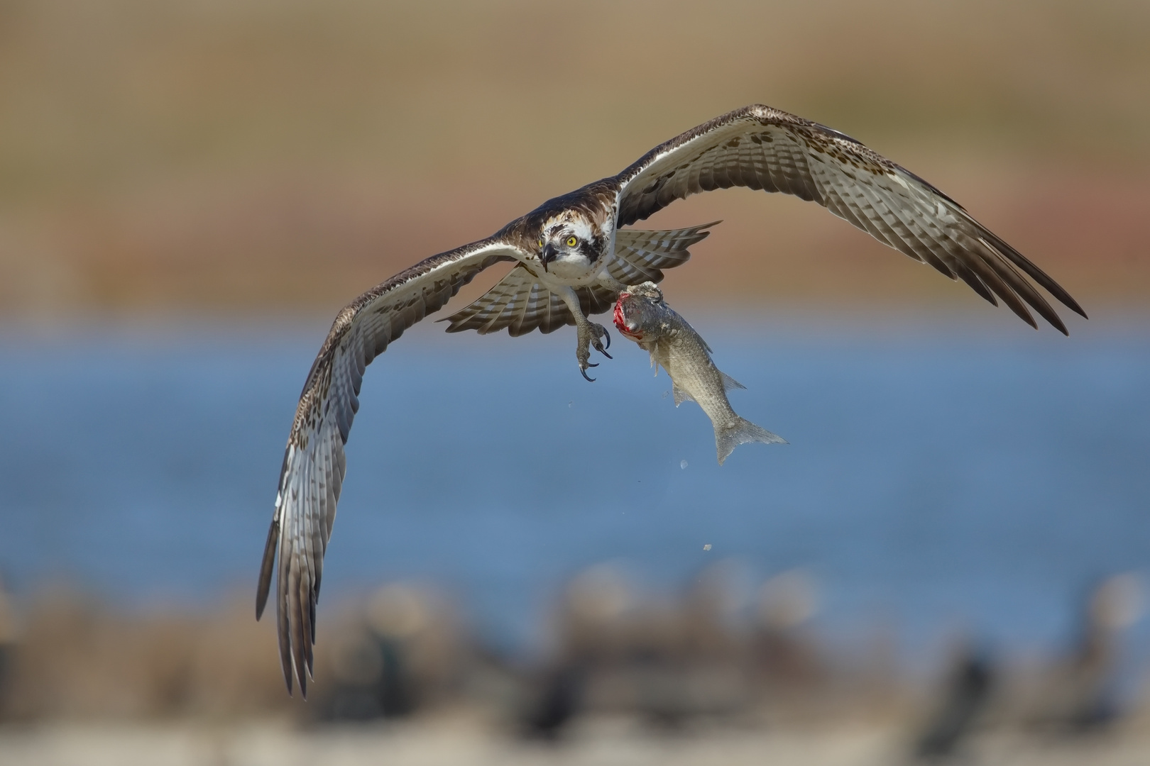 Fischadler mit Mittagessen
