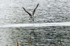 Fischadler ohne Beute