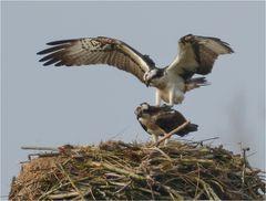 Fischadler (Paarung)