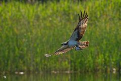 Fischadler (Pandion haliaetus) mit Fang ...