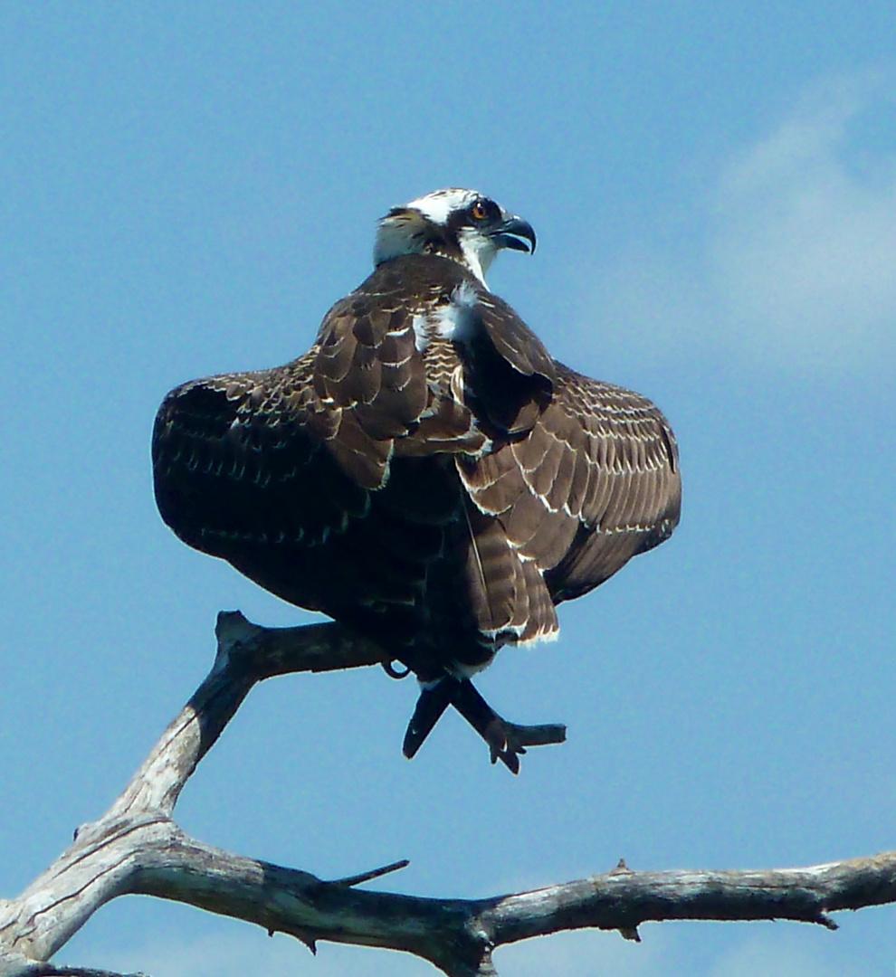 Fischadler von hinten, Florida