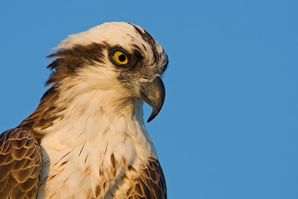 Fischadler – wildlife