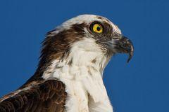 Fischadlerportrait / Portrait of an Osprey