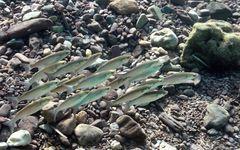 Fische über Geröll
