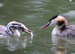 Fischfütterung bei den Haubentauchern.