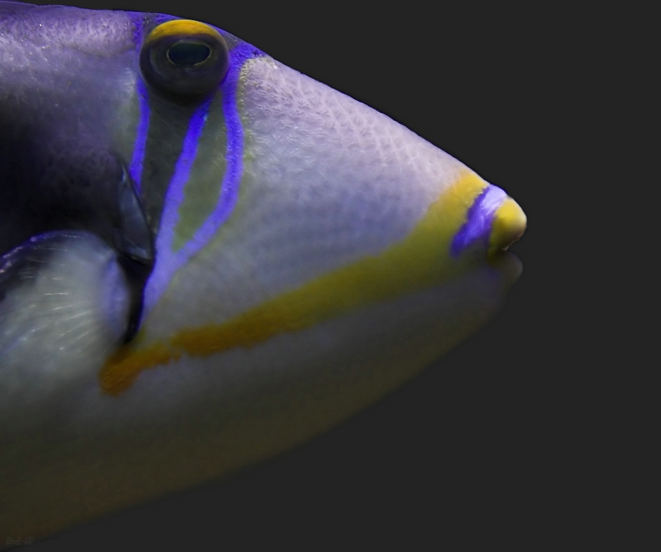 Fischkopp....