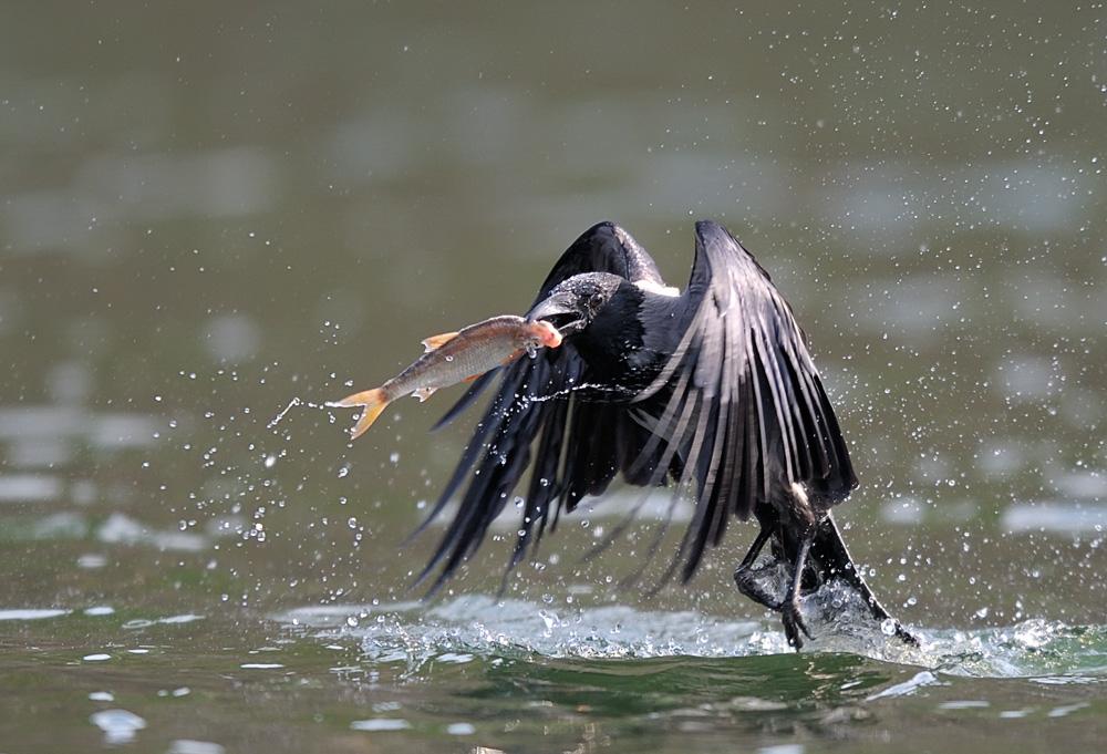 Fischkrähe